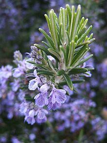 220px Rosmarinus officinalis133095382 Tanaman Anti Nyamuk