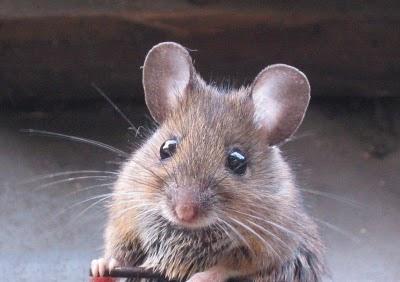 tikus Cerita Menakjubkan Dari Sang Tikus